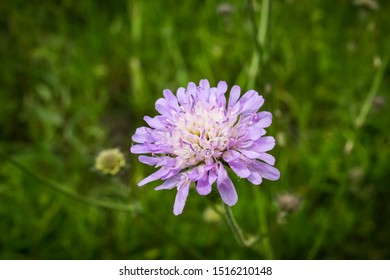 Scabiosa columbaria, Butterfly Blue, Small scabious, perennial herb across lavender blue flower heads.