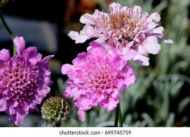 Scabiosa columbaria 'Flutter Rose Pink', Dwarf Pincushion Flower with larger and deeper pink flowers, blooms continuining from spring to late summer, suitable for mass planting, borders and pots.