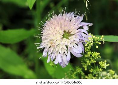 Scabiosa is a genus in the honeysuckle family (Caprifoliaceae)