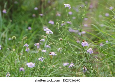 Scabiosa japonica blooming Plateau meadow. Focus point is the bloom on the right, with insect.