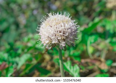 Scabiosa siamensis Craib.Rare flower at Mountain Chiang Dao national park, Chiang Mai, Thailand
