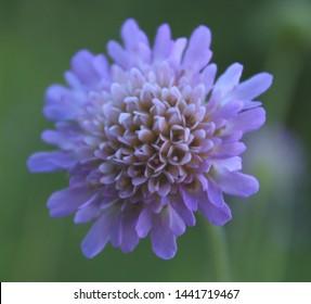 scabiosa wildflower on green background