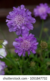 Scabious flower or better known as scabiosa, the butterfly blue or the pincushion flower.