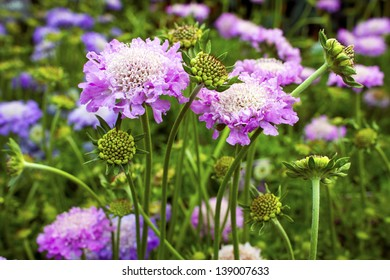 Scabious plant Scabiosa columbaria 'Pink Mist' in a garden.