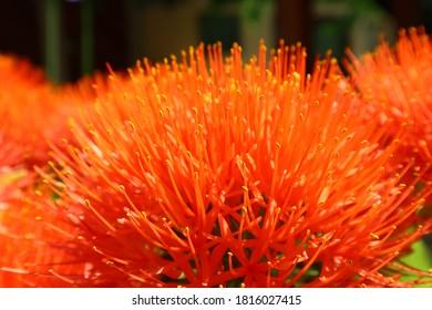Scadoxus multiflorus - Blood Lily