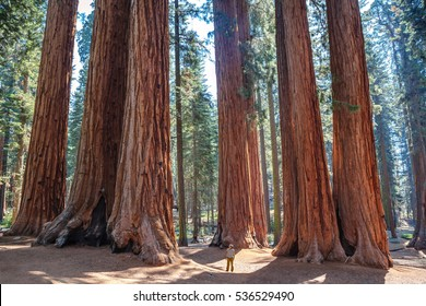 Scale of the giant sequoias, Sequoia National Park. California. U.S