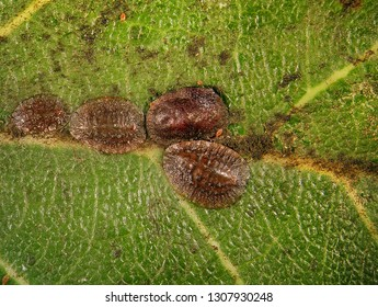 Scale insect, Saissetia sp. (Hemiptera: Coccidae) is the dangerous pest of citrus, mango and olive trees in the Mediterranean Basin