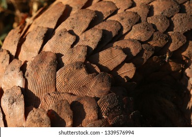Scales of tree pangolin, killed by poachers. Species is also known as the white-bellied pangolin or three-cusped pangolin and it is an endangered animal hunted for its scales used in asian medicine.