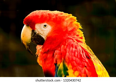Scalet Macaw in the tropical jungel near Asn Miguel, Costa Rica