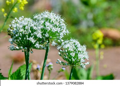 Scallion Flower (Allium cepa  L.) ;  A colorful of many small flowers, bunch into a bouquet. The sphere will bloom out. white petals, fragrant. The stem is green, long, round, hollow inside.