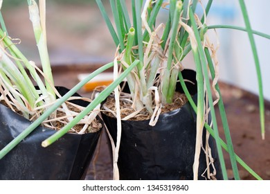 Scallion or green onion clump in pot and not harvested