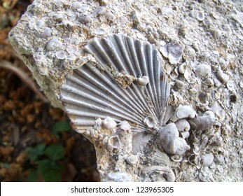 A scallop fossil embedded in limestone