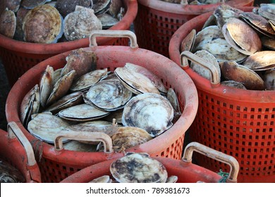 The Scallop Harvest