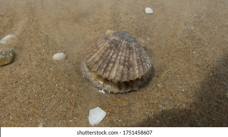 Scallop lying on the beach