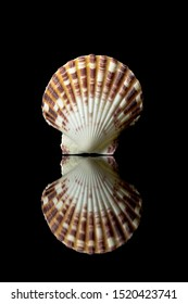 scallop sea shell  beach sea shell spiral beach ocean on black backdrop travel vacation tropical texture aquarium island life seashore nature trip family relax shape hard shell isolated room for text