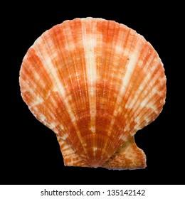 Scallop seashell on black background