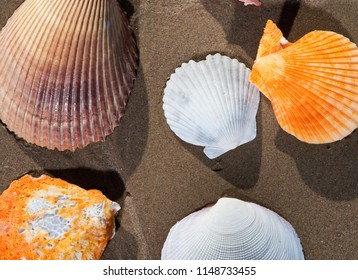 Scallop Shells lying on wet sand on the beach at sunrise. Pectinidae.