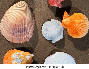 Scallop Shells  on wet sand on the beach at sunrise. Pectinidae.