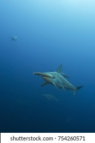 Scalloped Hammerhead Shark in Galapagos, the Pinnacle of Diving