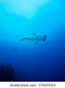 A Scalloped Hammerhead Shark at San Benedicto Island in Mexico