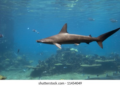 Scalloped Hammerhead Shark (Sphyrna lewini) swimming over reef, with fish in the blue background.