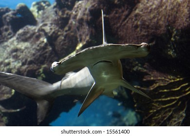 Scalloped Hammerhead Shark (Sphyrna lewini) swimming over reef
