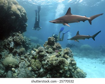 Scalloped Hammerhead Shark (Sphyrna lewini) swimming over reef, with diver in the blue background.