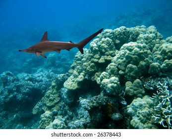Scalloped Hammerhead Shark (Sphyrna lewini) swimming over reef