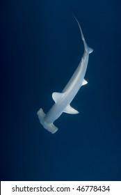 A Scalloped Hammerhead shark (Sphyrna lewini), endangered, in deep water. Jackson Reef, Red Sea, Egypt.