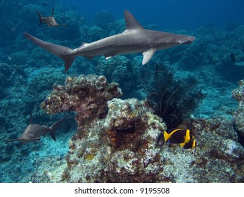 Scalloped Hammerhead Shark (Sphyrna lewini) and Scribbled Angelfish (Chaetodontoplus duboulayi) swimming over tropical coral reef.