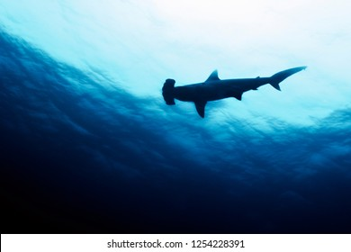 Scalloped hammerhead shark underwater at the Galapagos Islands