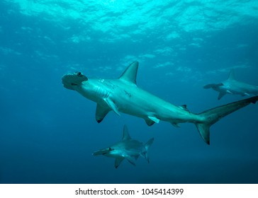 Scalloped Hammerhead Sharks in remote offshore Malpelo Island, UNESCO World Heritage Site in Colombia