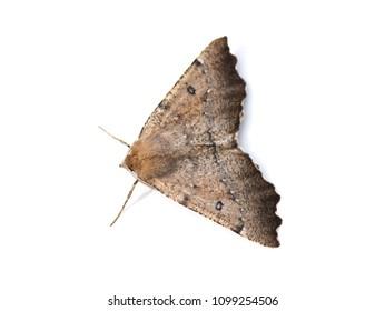 The scalloped hazel moth Odontopera bidentata isolated on white background