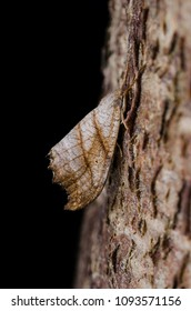 Scalloped Hook-tip (Falcaria lacertinaria) moth sitting on tree bark