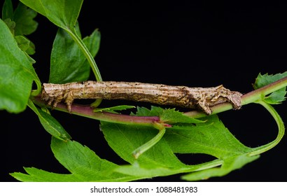 Scalloped Oak (Crocallis elinguaria) moth caterpillar. Eating green leaves.