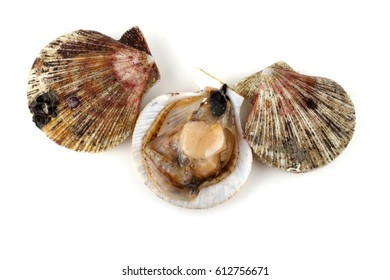 Scallops and opened scallop