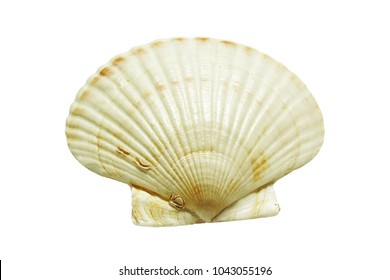 scallops shell See Pectinidae on the white background isolated on white and clipping path