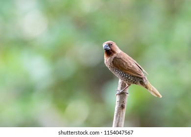 Scaly breasted munia is a small bird native to Thailand. It has contrasted face and upper parts, concolorous rump and bold scaling on breast and flanks.