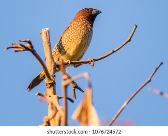 A scaly munia rests in a tree in afternoon light against a blue sky. Taken in east Thailand