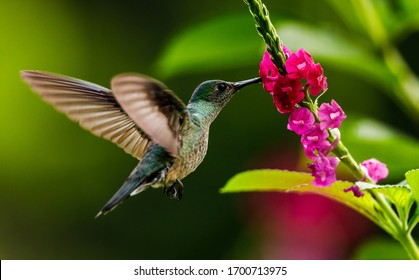 Scaly-breasted hummingbird feeding on flowers in Costa Rica.