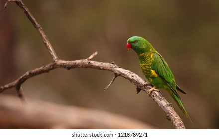 A Scaly-breasted Lorikeet perched on a branch