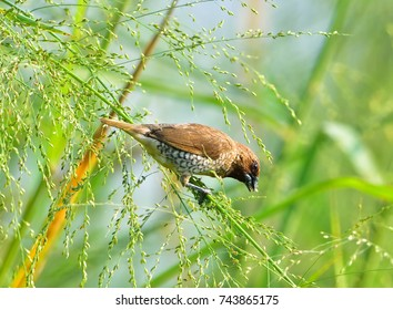 Scaly-breasted Munia /Lonchura punctulata eating grass  In the filed