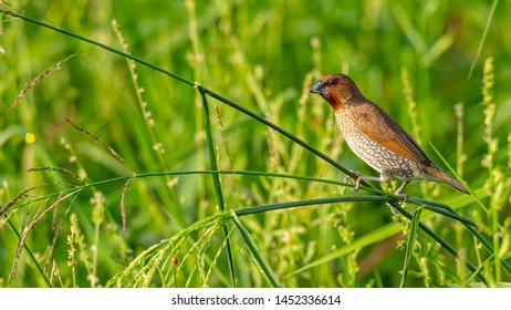 Scaly-Breasted Munia perching on grass stalk looking into a distance