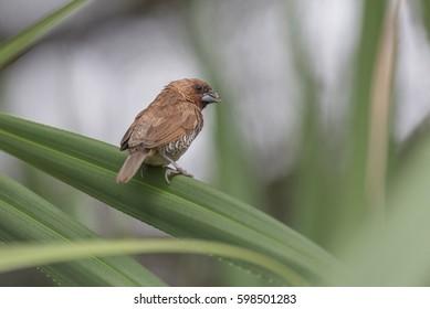 Scaly-breasted munia sitting on a palm leaf