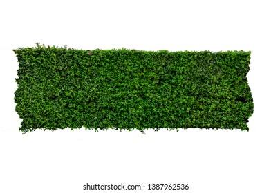 scandent shrub isolated on white