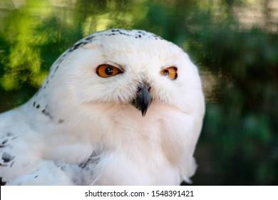 Thesnowy owl(Bubo scandiacus) is a large, white owlof thetrue owlfamily. Snowy owls are native toArticregions inNorth Americaand Eurasia.
