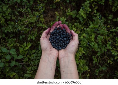A Scandinavian girl holding freshly picked wild blueberries in her hand in Finland.