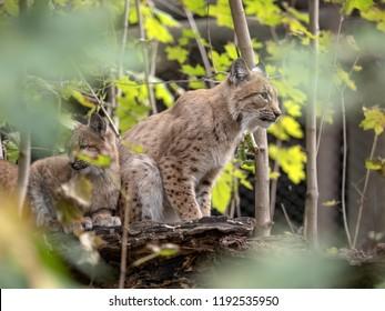 Scandinavian lynx, Lynx lynx lynx, female with chicks