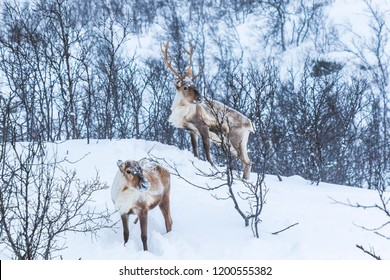 Scandinavian wild male and female reindeer or caribou standing in a forest with snow in the mountains during winter season.