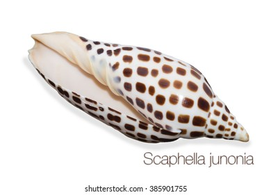 Scaphella Junonia Isolated on White Background